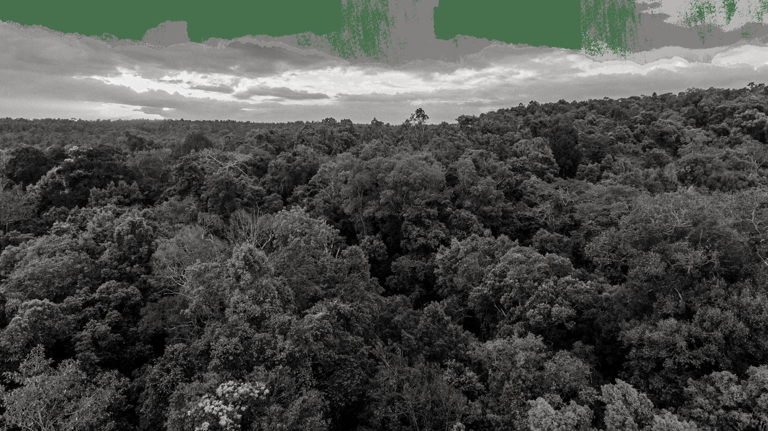 MANGROVE FORESTSP
